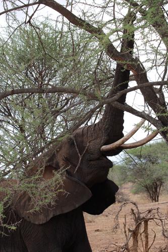 Tarangire-elephant-2