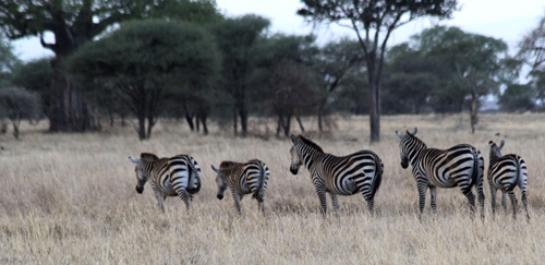 Tarangire-zebras