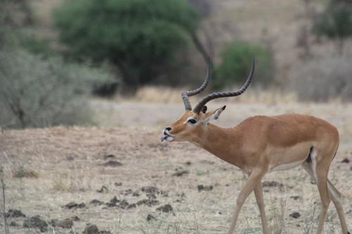 Tarangire-impala