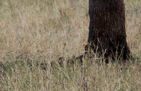 Tarangire-cheetah-under-tree