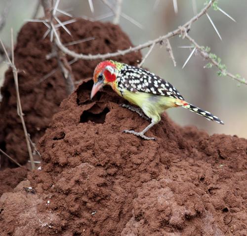 Tarangire-bird-3