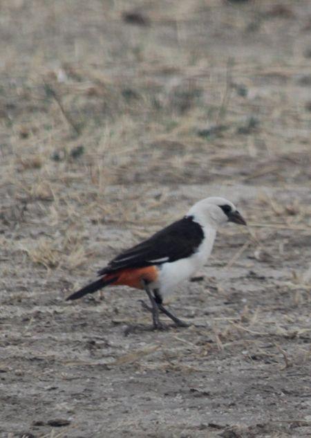 Tarangire-bird-4