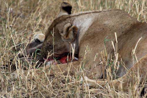Tarangire-lioness-eating