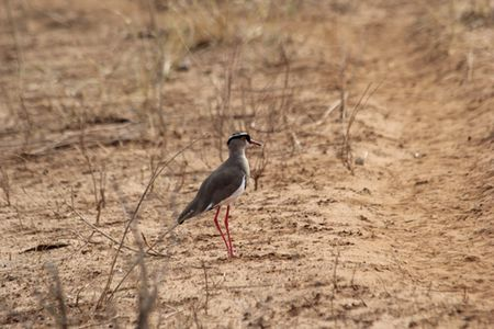 Tarangire-orange-legged-bird
