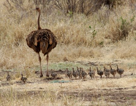 Tarangire-ostrich-and-chicks