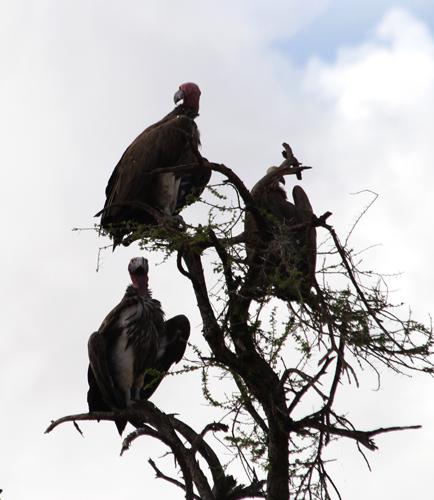 Tarangire-vultures