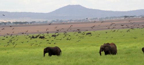 Tarangire-swamp-elephants-&-birds