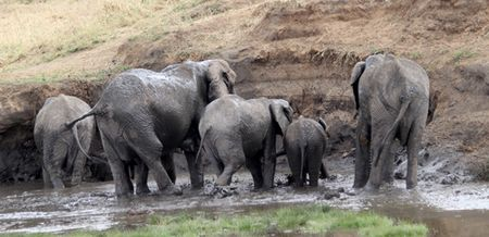 Tarangire-elephants-splashing