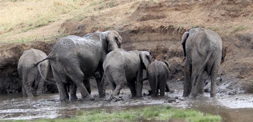 Tarangire-elephants-splashing
