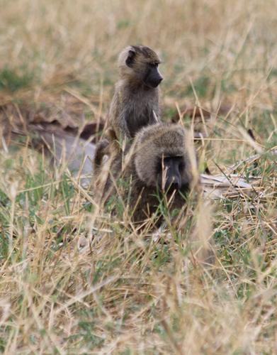 Tarangire-baboons