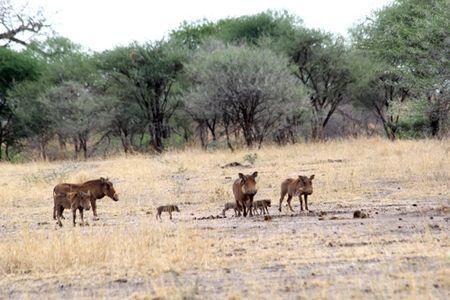 Tarangire-warthog-family