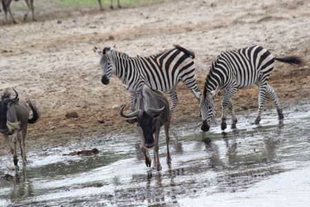 Tarangire-zebras-and-wildebeasts