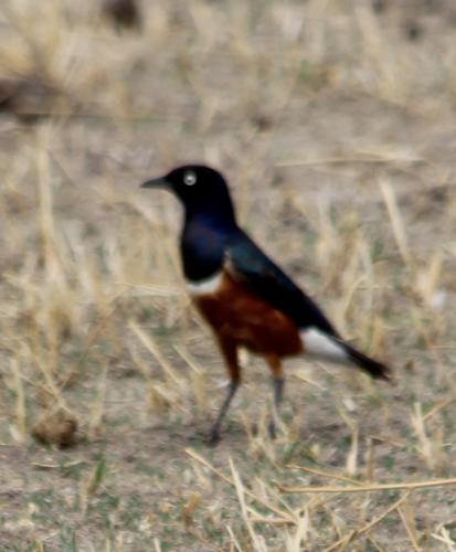 Superior-starling