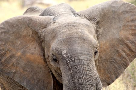 Tarangire-elephant-ears-out