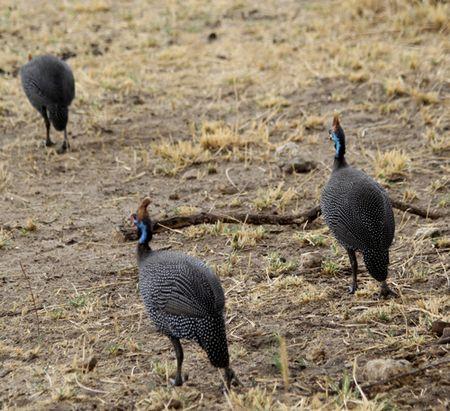 Tarangire-guinea-fowl