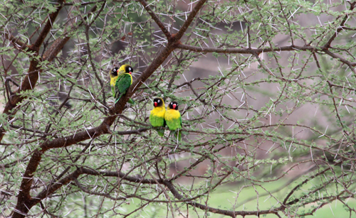 Tarangire-lovebirds
