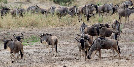 Tarangire-wildebeasts