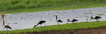 Tarangire-swamp-birds