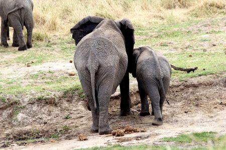 Tarangire-elephant-butts