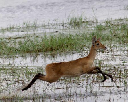 Tarangire-leaping-gazelle
