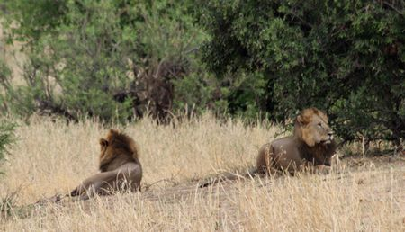 Tarangire-male-lions