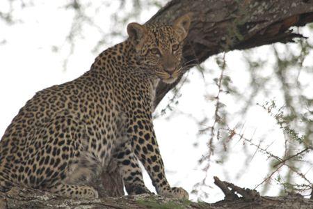 Tarangire-juvenile-leopard