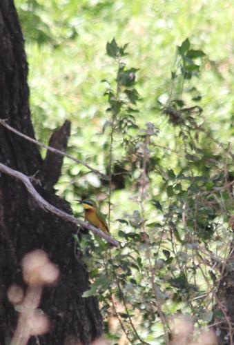 Bird---bee-eater