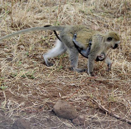 Lake-Manyara-vervet-monkey-and-baby