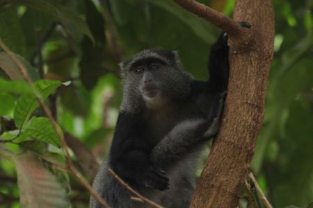 Lake-Manyara-blue-monkey