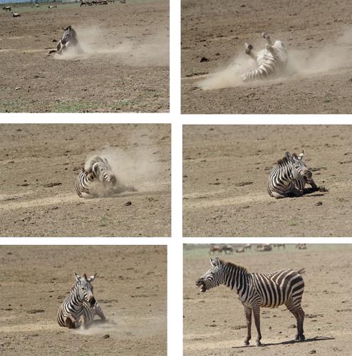 Dust-rolling-zebra