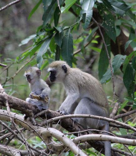 Lake-Manyara-mokeys-in-tree