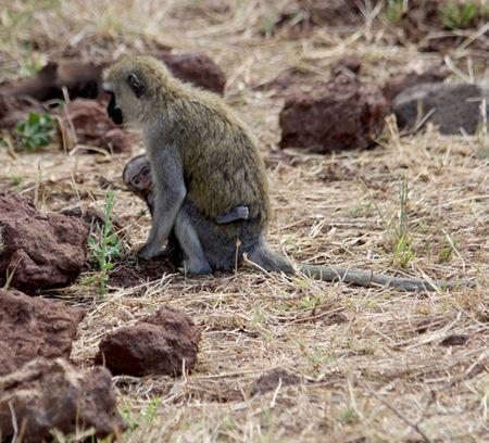 Lake-Manyara-vervet-monkey-and-baby2