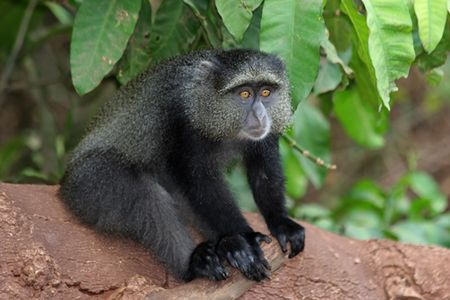 Lake-Manyara-blue-monkey-2