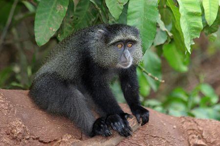 Lake-Manyara-blue-monkey-2