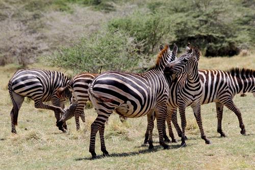 Lake-Manyara-zebra