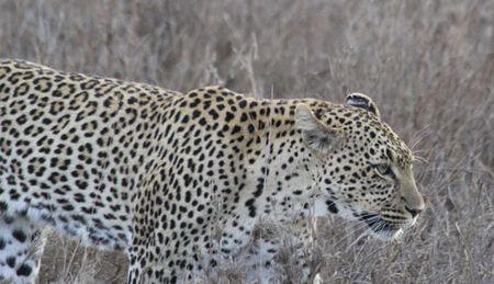 Leopard-walking-7
