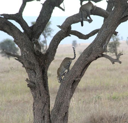 Leopards-in-tree-and-leaving