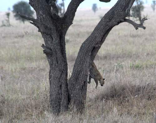 Leopard-jumping-out-of-tree