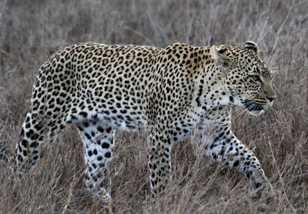 Leopard-walking-3