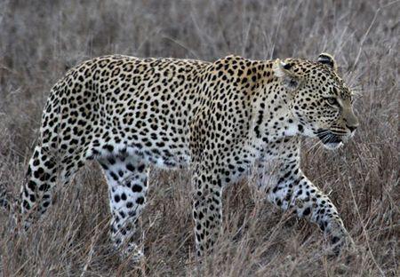 Leopard-walking-3