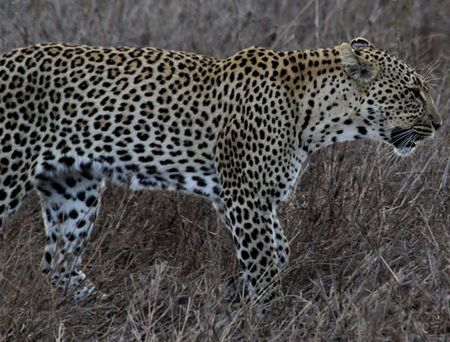 Leopard-walking-4