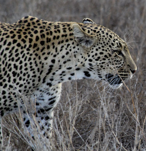 Leopard-walking-11