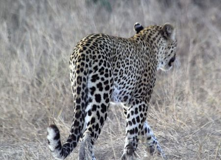 Leopard-walking-13