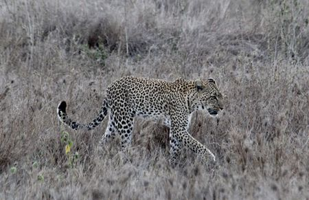 Leopard-walking-1