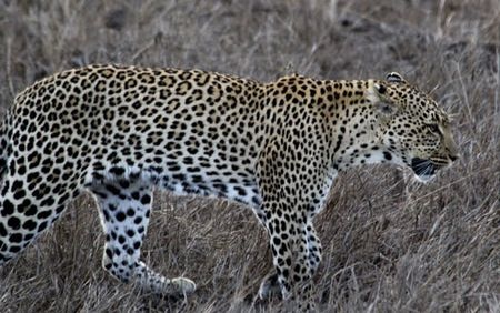 Leopard-walking-5