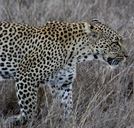 Leopard-walking-6