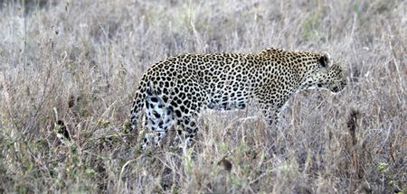 Leopard-walking-12