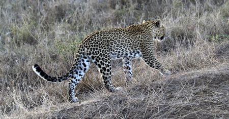Leopard-walking-14