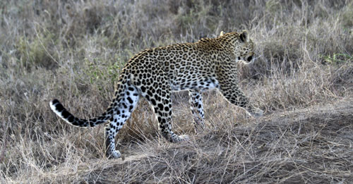 Leopard-walking-14