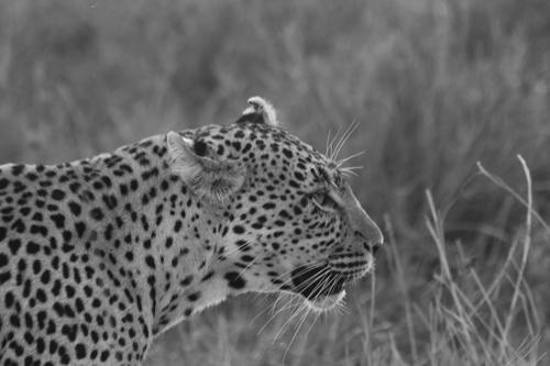 Leopard-greyscale-conv